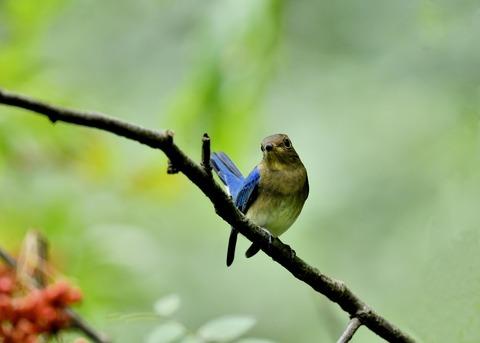 オオルリ♂若鳥0664