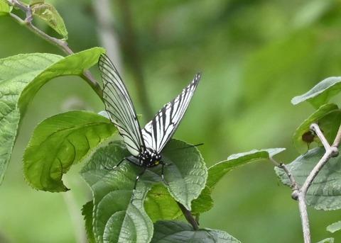 アカボシゴマダラ(春型)6154