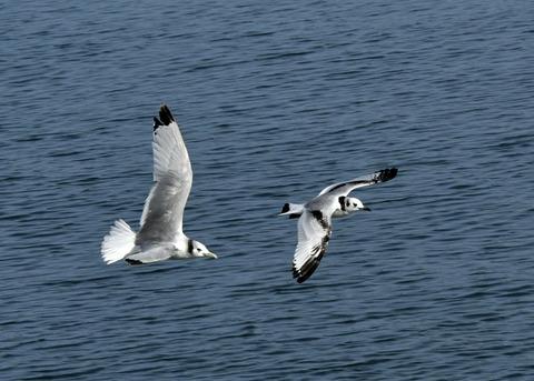 ミツユビカモメ第一回冬羽と成鳥5402