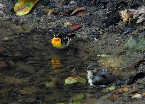 キビタキ♂と幼鳥3456