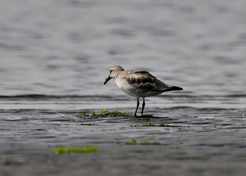 コオバシギ幼鳥4270