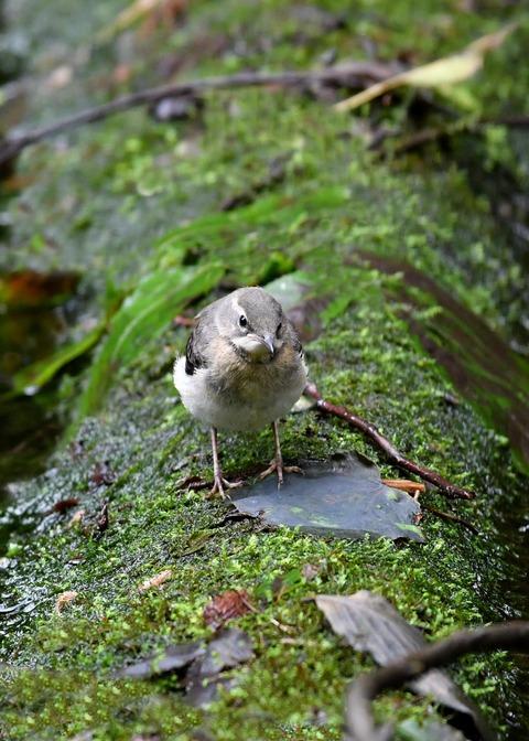 キセキレイ幼鳥8167