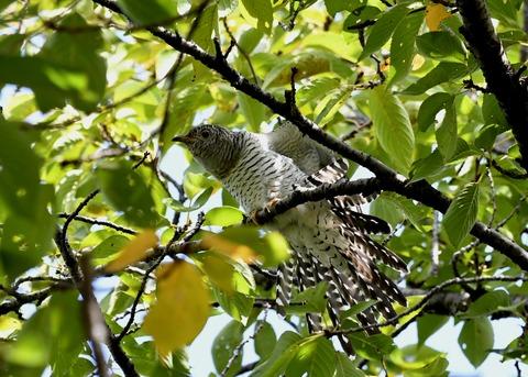 ツツドリ幼鳥6235