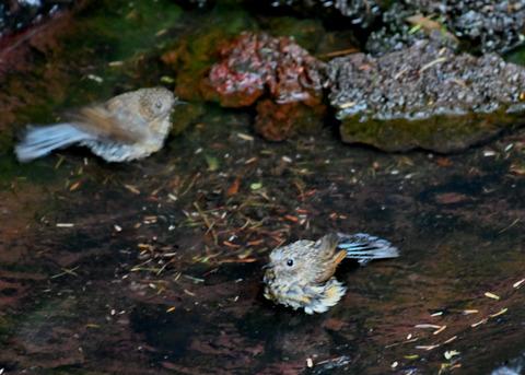 ルリビタキ幼鳥8255