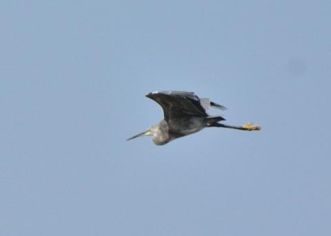 飛ぶ・コサギ・暗色型4474