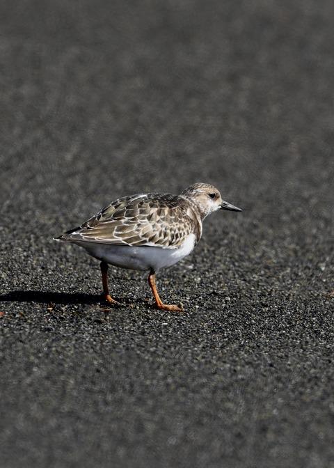 キョウジョシギ幼鳥5997