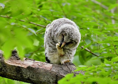 フクロウのヒナ0752