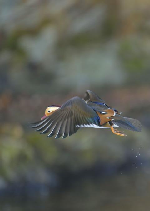 飛ぶ・オシドリ♂9650