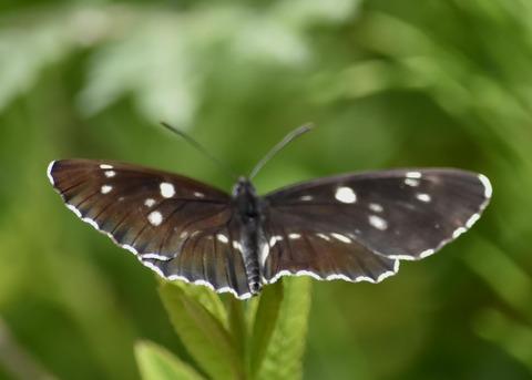 フタスジチョウ黒化型1079