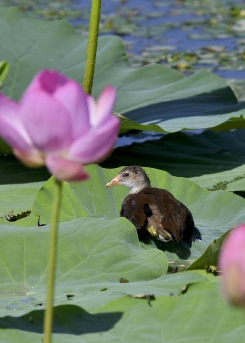 バン若鳥4115
