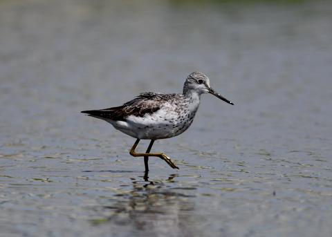 アオアシシギ幼鳥2796