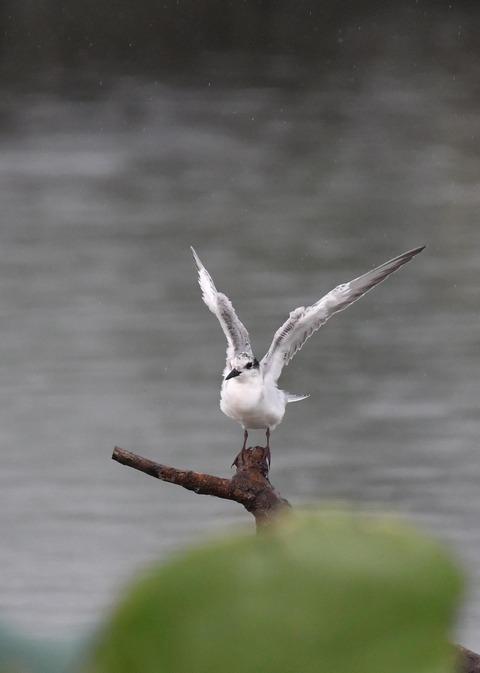 クロハラアジサシ幼鳥1833