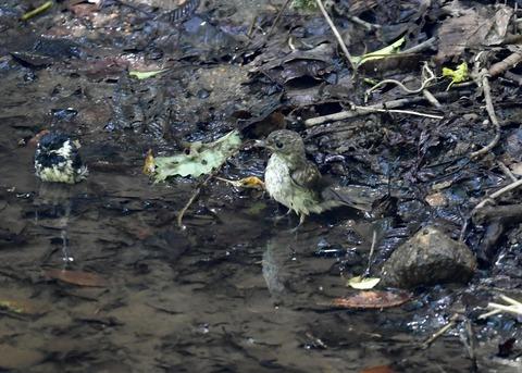 キビタキ幼鳥7528