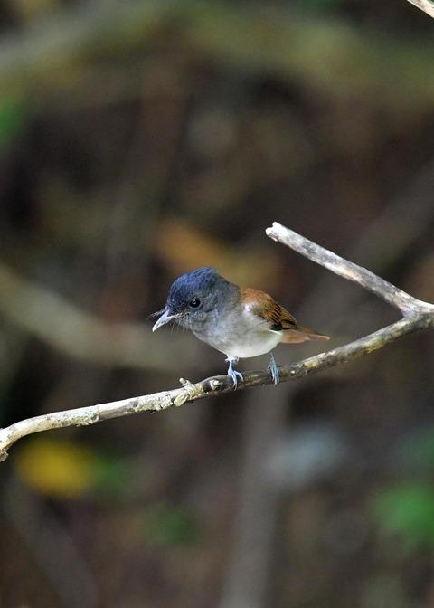 サンコウチョウ幼鳥5590