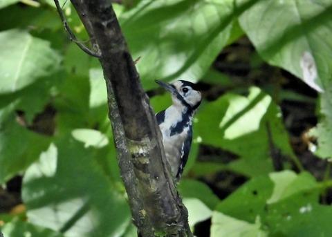 アカゲラ♂幼鳥3016