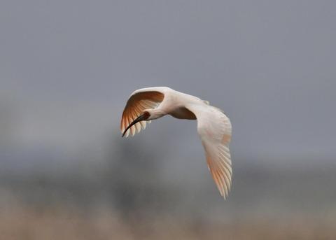 飛ぶ・トキ4287
