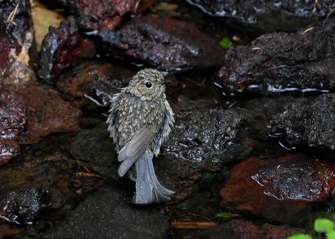 ルリビタキ幼鳥8332