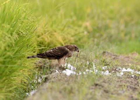 オオタカ若鳥3111