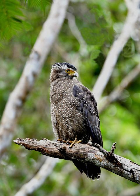 カンムリワシ成鳥5889-02