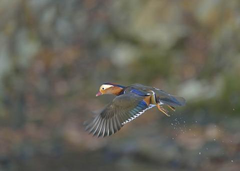 飛ぶ・オシドリ♂9649