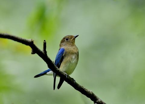 オオルリ♂若鳥0687