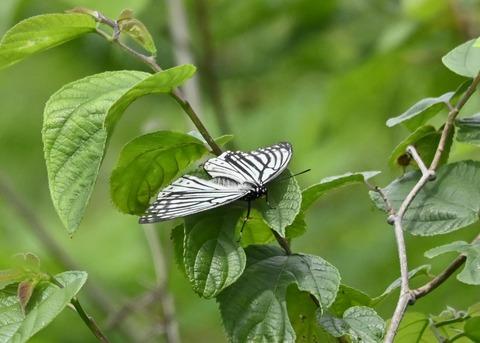 アカボシゴマダラ(春型)6163