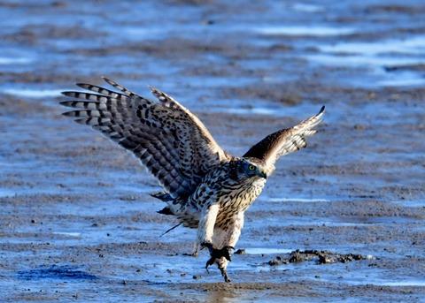 オオタカ若鳥0837