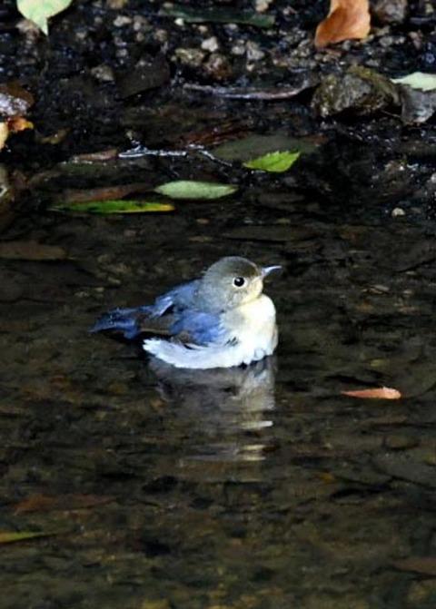 コルリ♂幼鳥7279