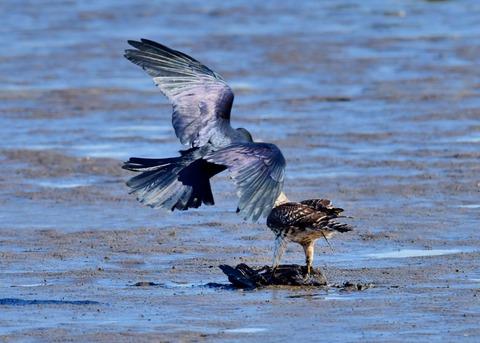 オオタカ若鳥0611