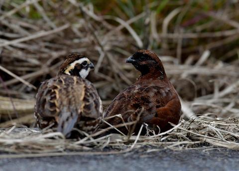 コリンウズラ♂&若鳥5324