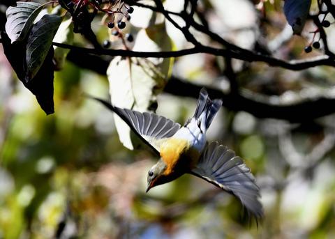 飛ぶ・ムギマキ♀4465