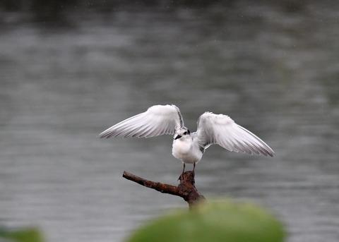 クロハラアジサシ幼鳥1834