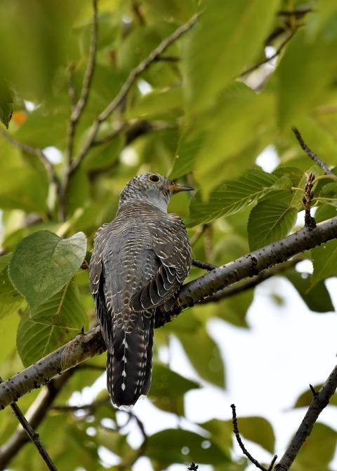 ツツドリ幼鳥5818