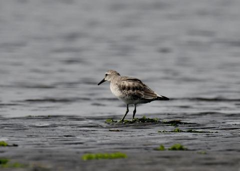 コオバシギ幼鳥4274