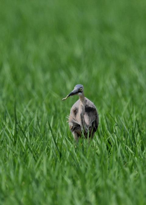 ムラサキサギ若鳥2448