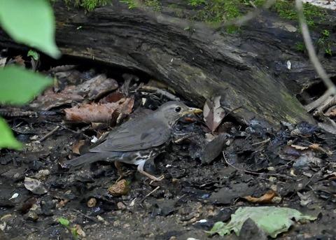 クロツグミ幼鳥6096