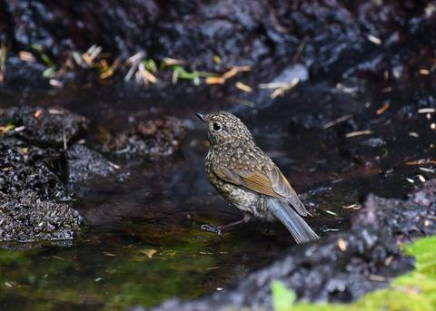 ルリビタキ幼鳥3053