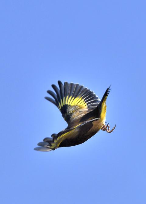 飛ぶ・カワラヒワ4629