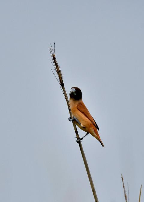 キンパラ幼鳥1893