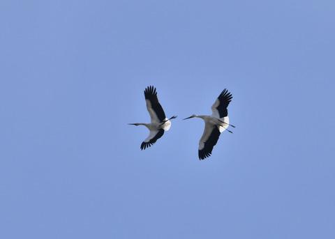 飛ぶ・コウノトリ(きずな&きらら)7601