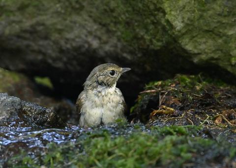 キビタキ♀幼鳥1056
