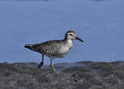 コオバシギ幼鳥0225