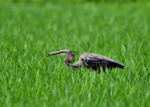 ムラサキサギ若鳥2265