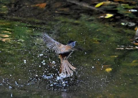 サンコウチョウ幼鳥6241