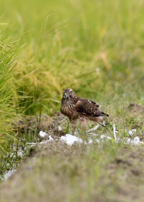 オオタカ若鳥3059
