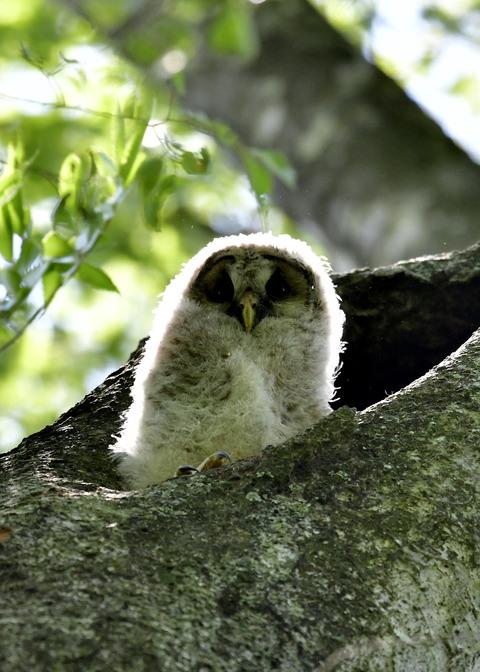 フクロウのヒナ②5807