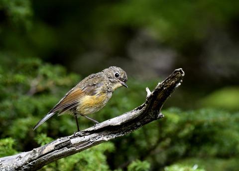 ルリビタキ幼鳥8963