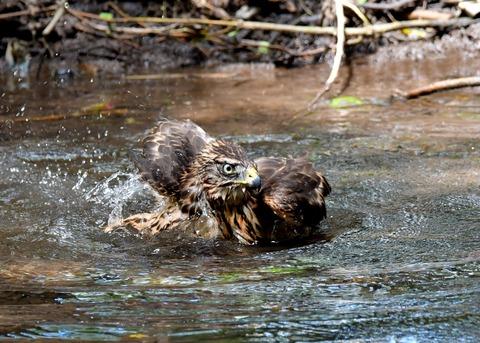 オオタカ幼鳥3940