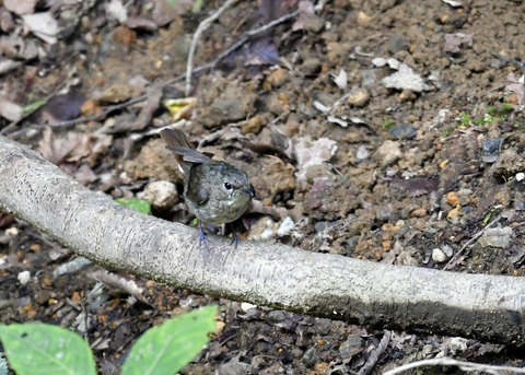 キビタキ幼鳥0271