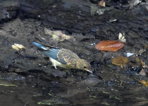 オオルリ♂幼鳥4340